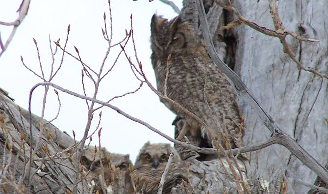 Owls at Dave Deacon Campground
